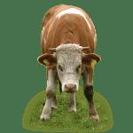 Beef cattle sheds, Capannoni prefabbricati allevamento Bovini da carne