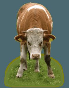 Capannoni prefabbricati allevamento Bovini da carne