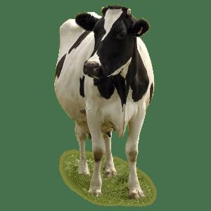 Dairy cattle sheds, Capannoni prefabbricati allevamento Bovini da latte