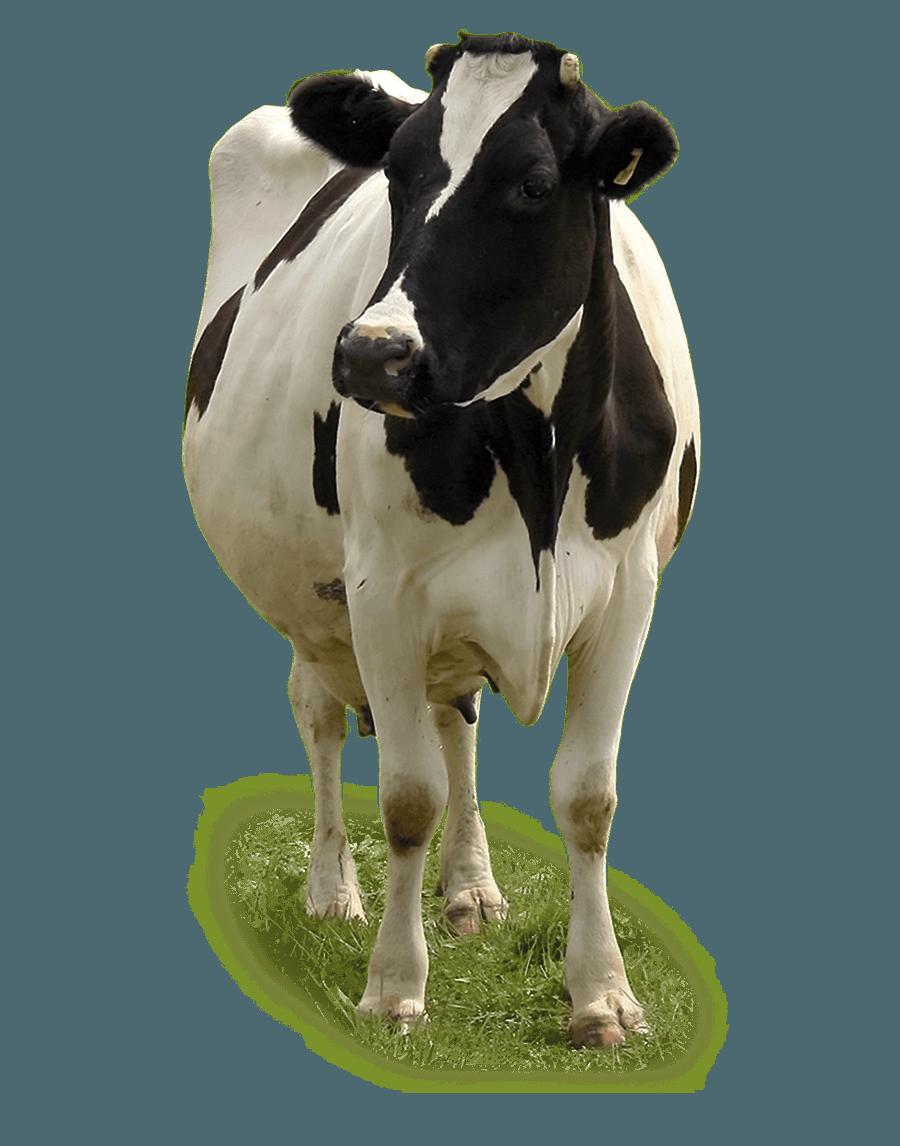 Capannoni bovini da latte