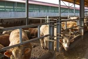 Capannoni prefabbricati per bovini da carne