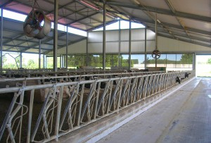 Capannoni per bovini da latte