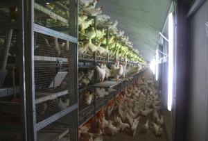 Capannoni prefabbricati allevamento polli