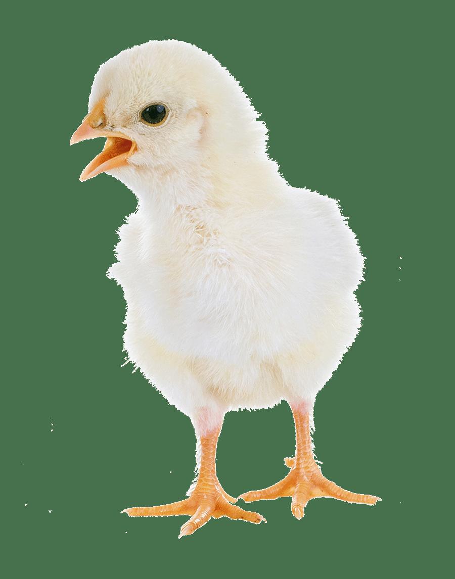 Capannoni prefabbricati ad uso avicolo, Poultry Sheds