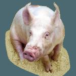Capannoni prefabbricati ad uso suinicolo