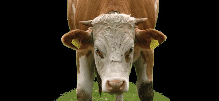Capannoni per bovini da carne