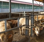 Capannoni-prefabbricati-per-bovini-da-carne-5