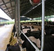 Capannoni-prefabbricati-per-bovini-da-latte-12