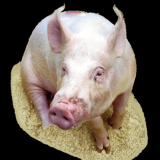 Pig Sheds
